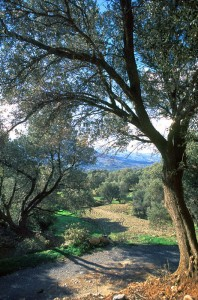 The road from the village to the olive fields