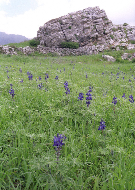 Lupin palestinus fill a spring field at the Minoan site of Monastiraki