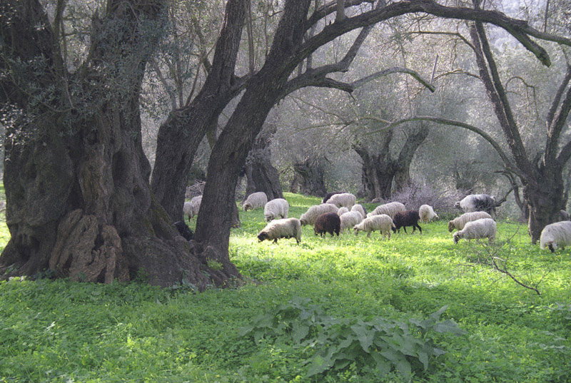 Sheep graze among the thousand year old + giants near the Agia Galini River
